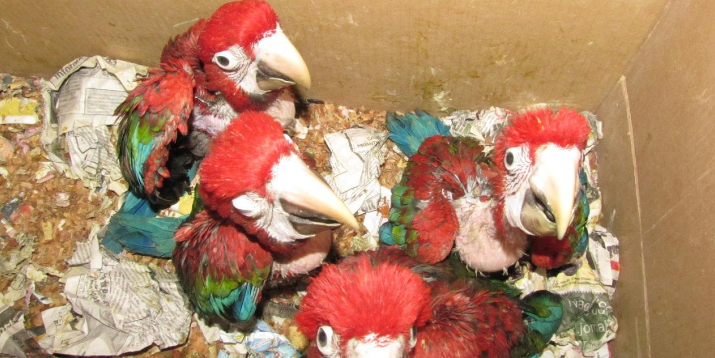 Four debilitated red macaws in a cardboard box