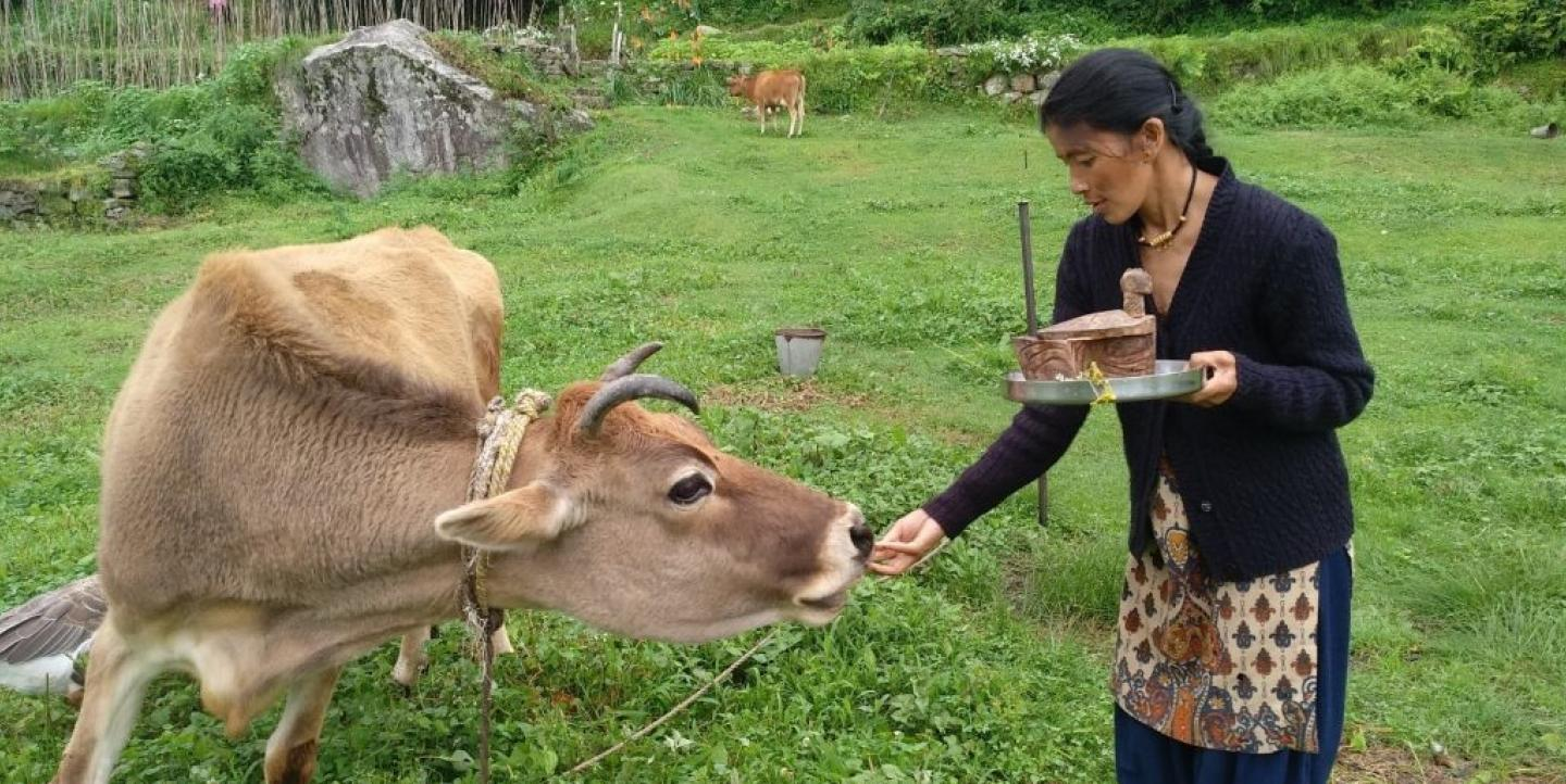A woman feeds a cow barley, credit: Rekha Rautela