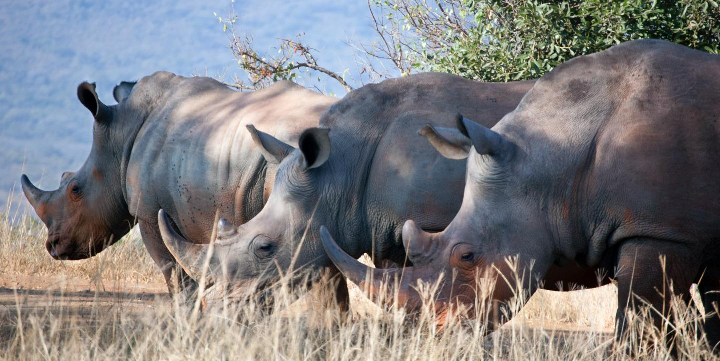 Three rhinos stand in a row
